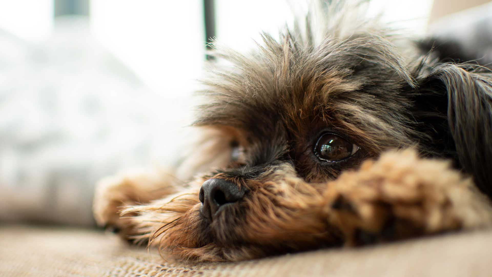 Perros y fuegos artificiales cómo ayudar a tu perro asustado pets in the sky